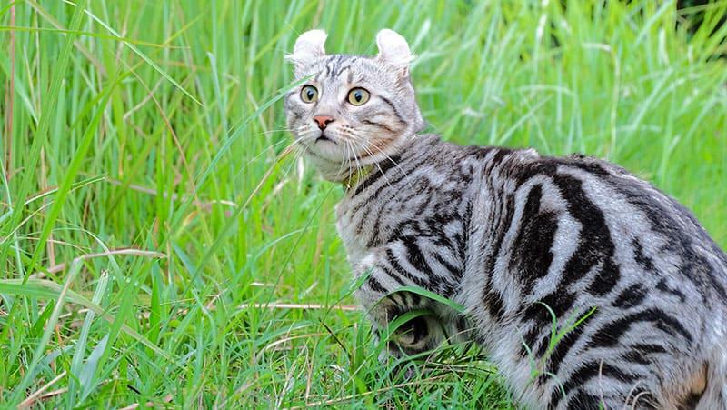 An American Curl cat