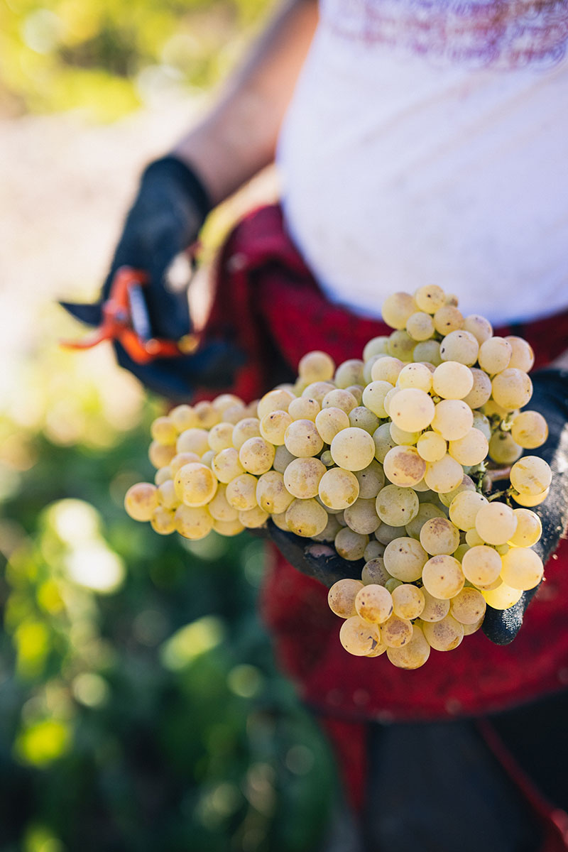 What are Cava grapes?