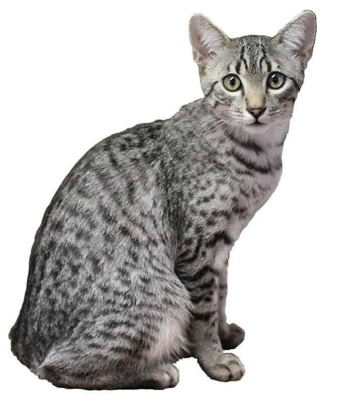 An Egyptian Mau cat