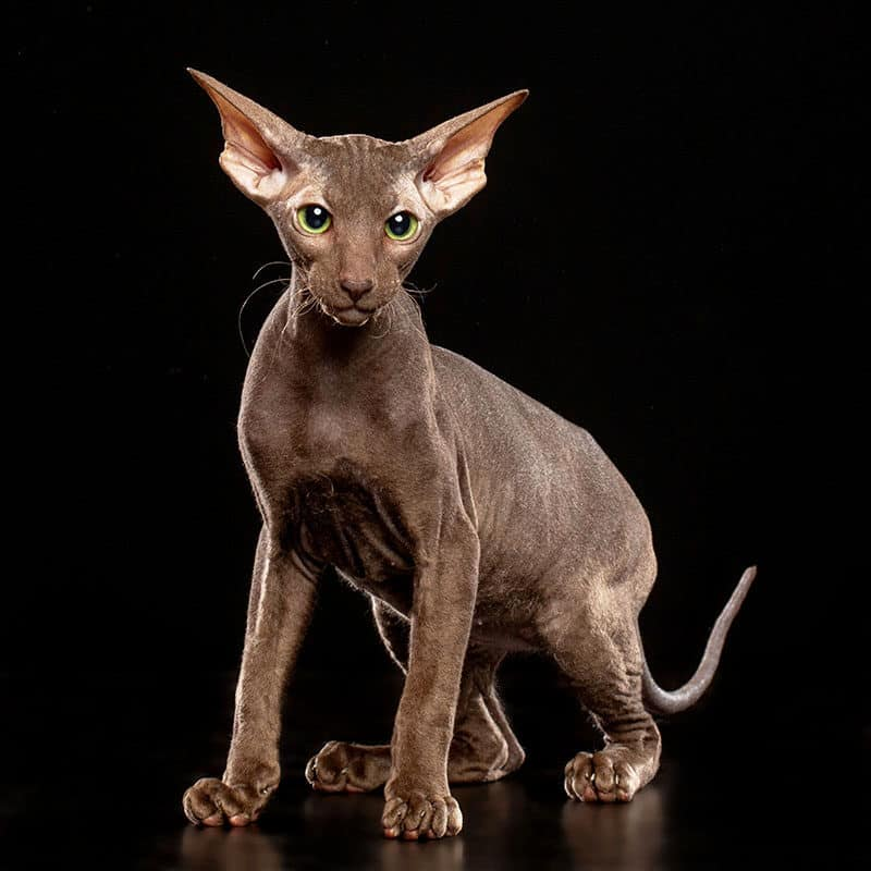 The Peterbald is one of the most expensive cat breeds