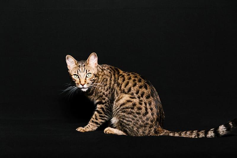 A striking Toyger cat