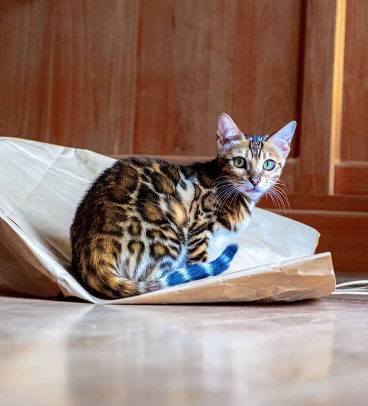 A beautiful Bengal cat
