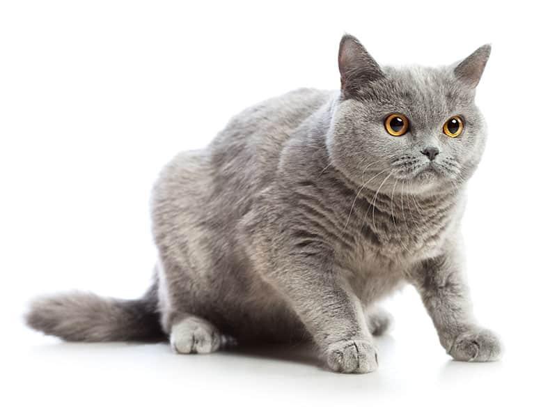 A blue British shorthair cat