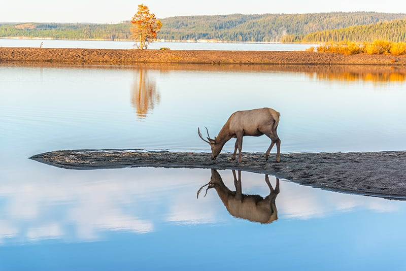 Young elk reflected in Yellowstone Lake in Yellowstone National Park