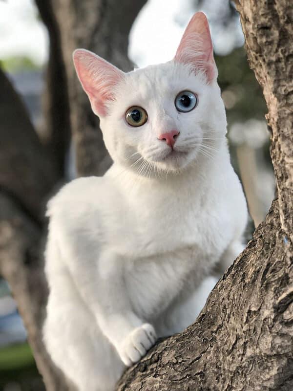 A distinctive Khao Manee cat