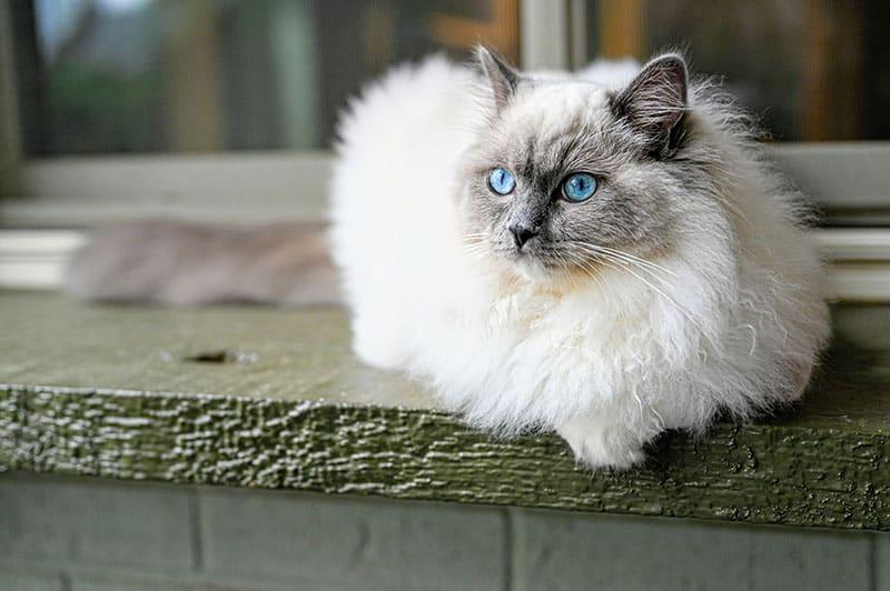 A stunning Ragdoll cat