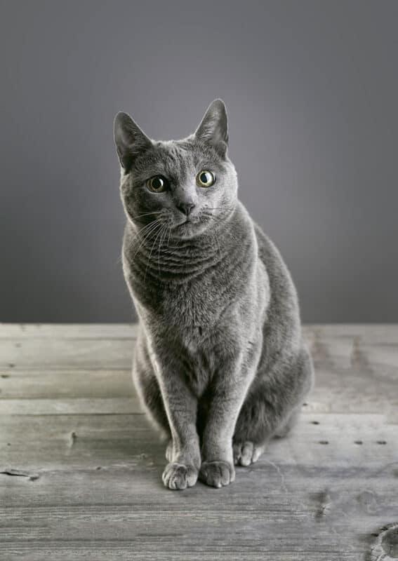 A Russian Blue Cat