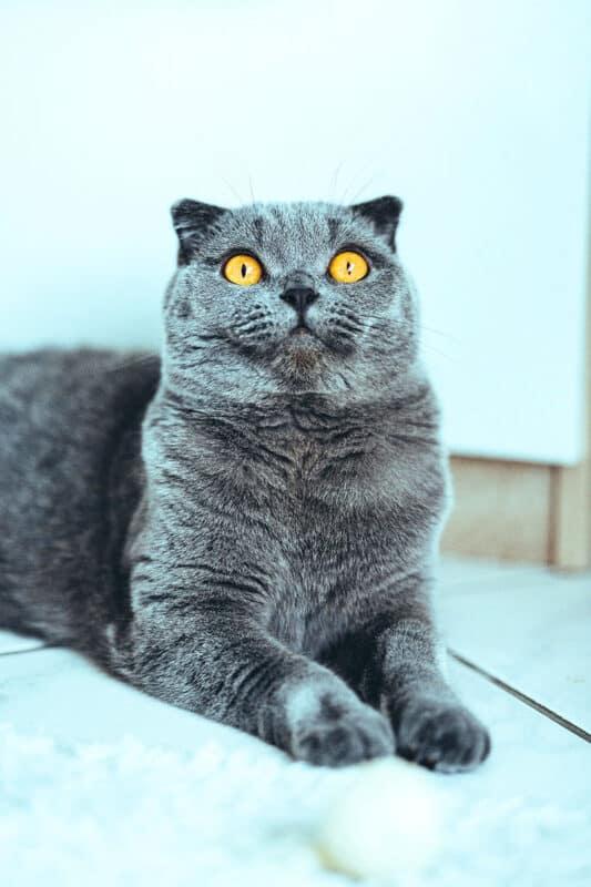 A Scottish Fold cat