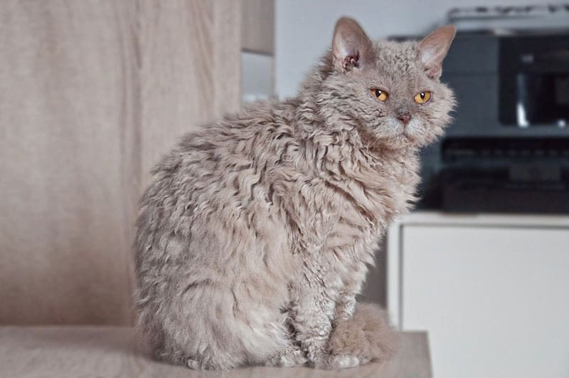 A Selkirk Rex cat