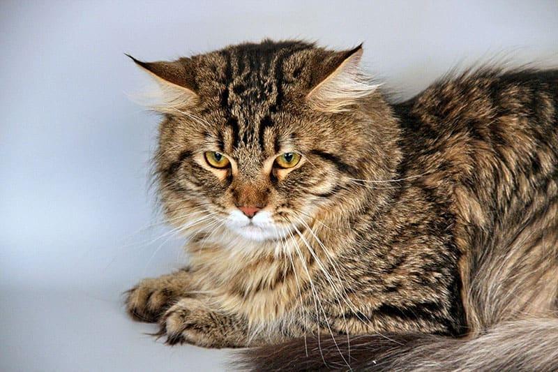 A Siberian cat