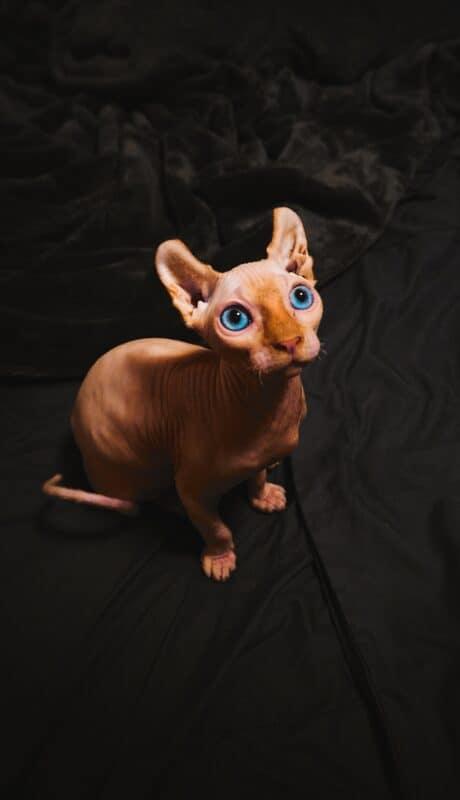 A hairless Sphynx cat