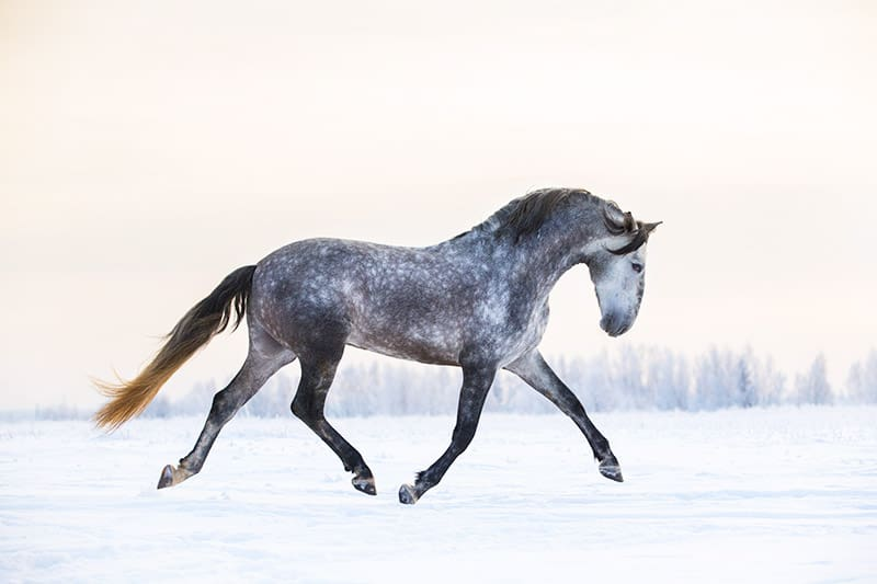 An Andalusian horse in the snow