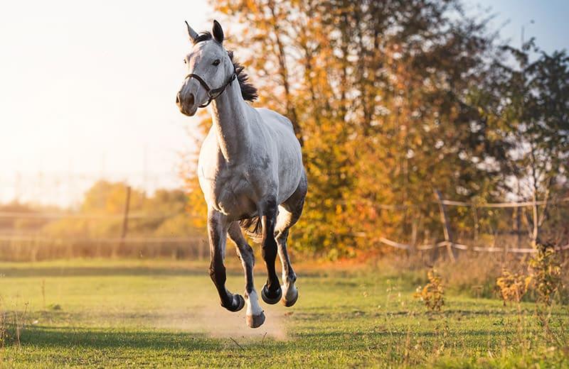A beautiful Arabian horse galloping in a meadow