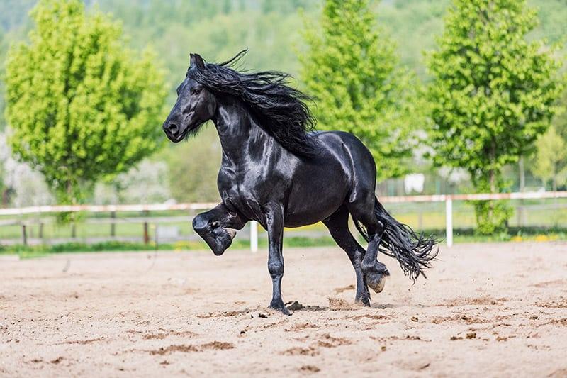 A black Friesian stallion galloping