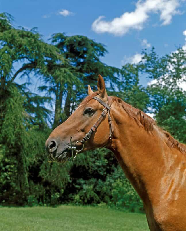 A Selle Francais horse